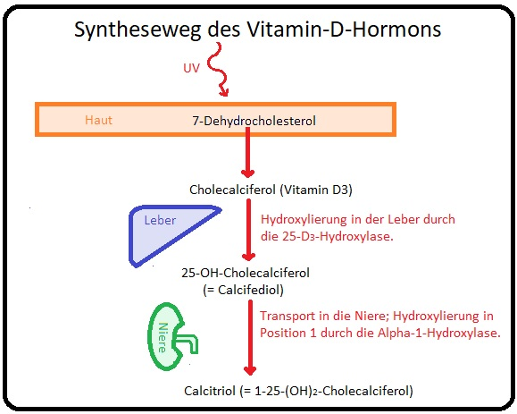 5 Syntheseweg des Vitamin D Hormons
